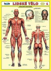 Lidské tělo - Přehled orgánových soustav - Svalová soustava