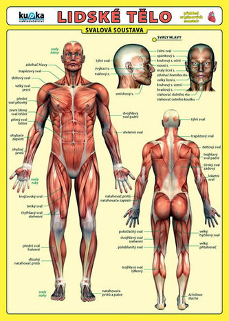 Lidské tělo - Přehled orgánových soustav - Svalová soustava - Jiří Kupka