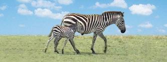 Záložka – Úžaska - Zebry