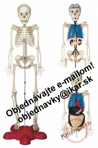 Kostra - ľudské telo