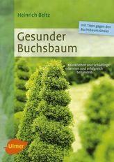 Gesunder Buchsbaum