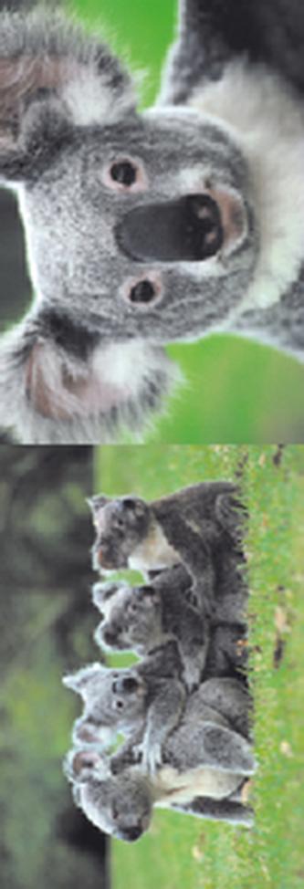 MZ 890 Medvídek koala