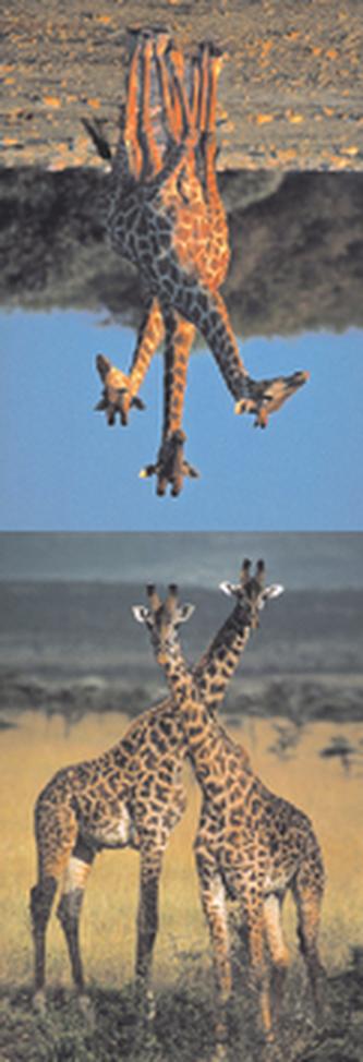 MZ 877 Žirafy