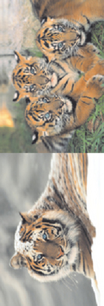 MZ 955 Tygři