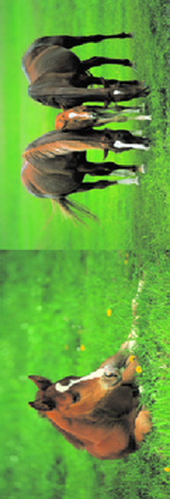 MZ 951 Koně 1.