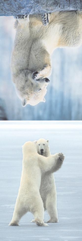 MZ 961 Lední medvědi 2.